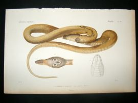 Cuvier C1840 Antique Hand Col Print. Snakes 34